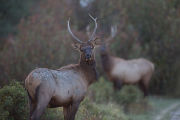 Spike bull Elk looks at camera