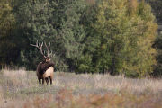 Bull Elk looks over shoulder