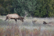 Bull Elk with lowered antlers