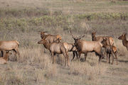 Bull Elk with family group