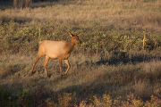 Elk cow in evening light