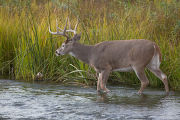 White-tailed buck in Mission Creek