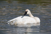 Trumpeter Swan preens feathers