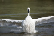 Adult Trumpeter Swan flaps wings