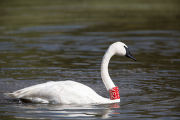 Adult Trumpeter Swan with tag