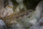 Fountain darter