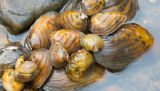Endangered freshwater mussels