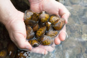 Clubshell mussels
