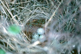 Blackbird nest with eggs