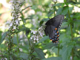 Eastern tiger swallowtail, dark female