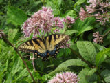 Eastern tiger swallowtail on Joe-Pye weeds
