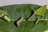 Stages of Monarch caterpillar development