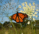 Monarch butterfly on Queen Anne's lace