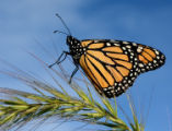 Monarch butterfly on Foxtail