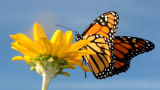 Monarch butterfly on Smooth Oxeye
