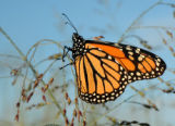 Monarch butterfly on Switchgrass