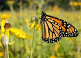 Monarch butterfly on Gray-headed Coneflower