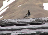 Evermann's Rock Ptarmigan, Attu