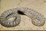 Mexican Ridged Nosed Rattlesnake