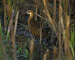 King Rail at Clarence Cannon National Wildlife Refuge