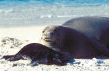 Hawaiian monk seal and pup