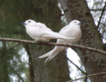 White tern pair in Ironwood tree