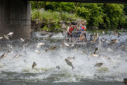 Silver Carp jumping in the Fox River