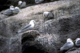 Black-legged kittiwakes nesting