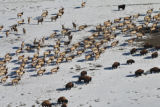 Wintering Elk and Bison