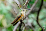 Male Rufous hummingbird on twig