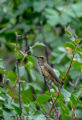 Female Rufous hummingbird on twig