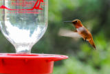 Male Rufous hummingbird at feeder