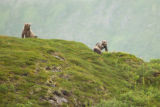 Scenic of Kodiak Brown Bear sow and cubs on the ridge