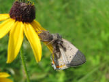 Acadian hairstreak being eaten by spider on flower