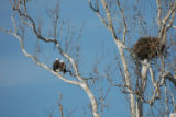 Bald eagles at NCTC