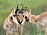 Pronghorns close-up