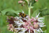 Native Bumblebee on Milkweed