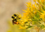 Hunt's Bumble Bee on rubber rabbitbrush