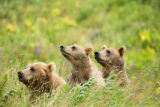 Kodiak Brown Bear and her cubs