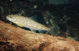 Juvenile atlantic salmon
