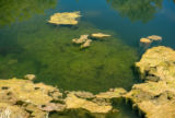 Green algae on top of water