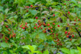 Wild blackberry bushes with berries