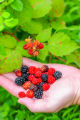 NCTC land management specialist with handful of wine raspberries and blackberries