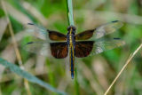 Female widow skimmer on blade of grass