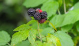 Black raspberry with fruit
