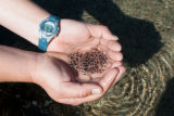Mountain yellow-legged frog eggs