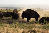 American bison in dust