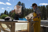 Biologists loading trout