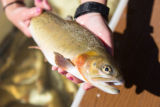 Carr Creek cutthroat trout