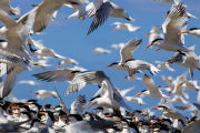 Flock of elegant terns